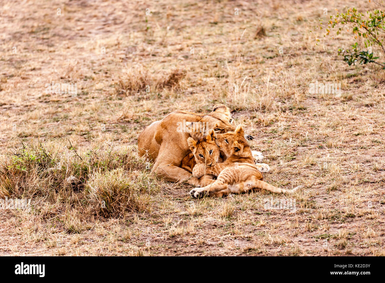 Female Lion with cubs in the Masai Mara, Kenya Stock Photo