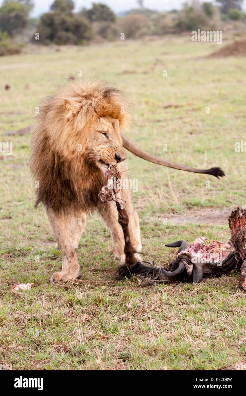 Male lion in the Masai Mara, Kenya Stock Photo