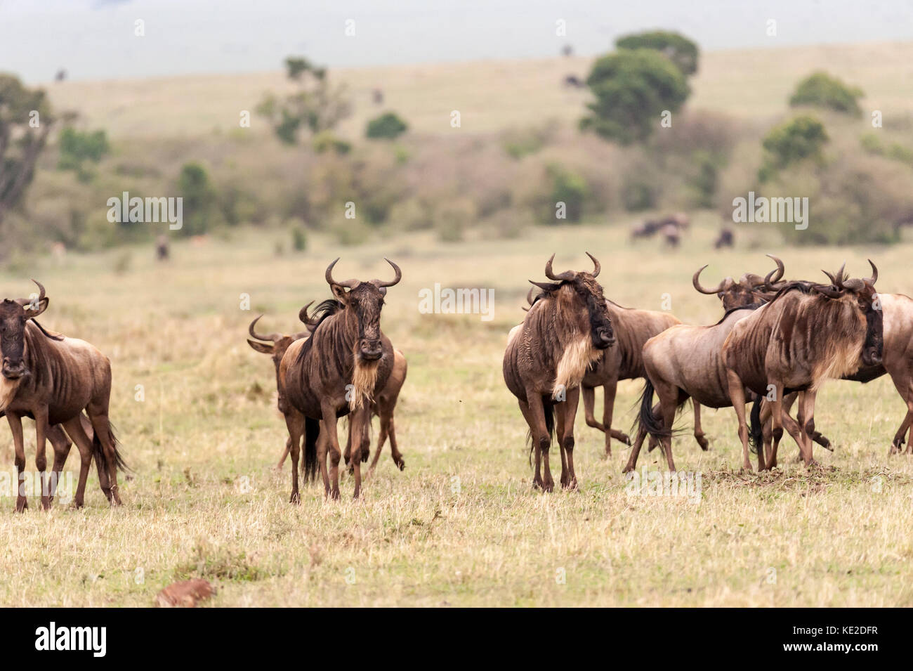 Widebeest in the Maasai Mara National Reserve Stock Photo