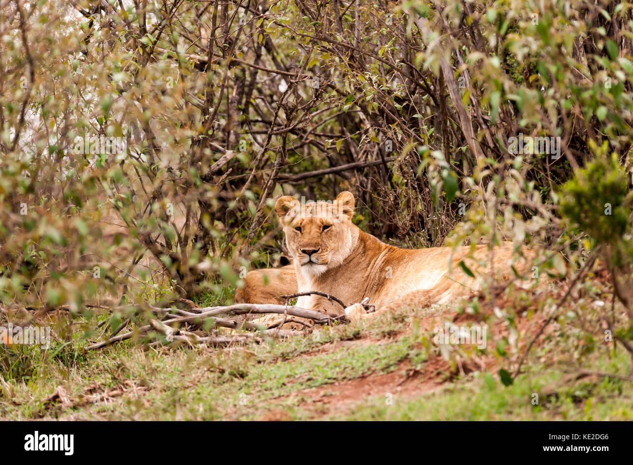 Male lions having a rest in the Maasai Mara National Reserve Stock Photo