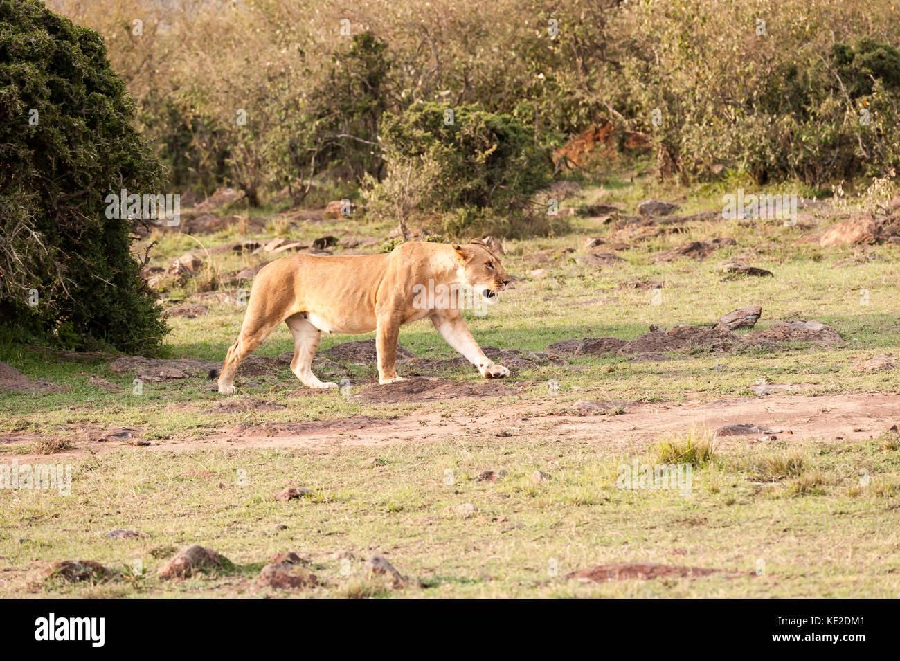 Female Lion in the Maasai Mara National Reserve Stock Photo