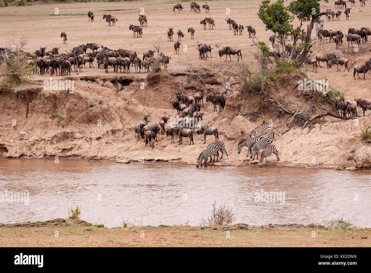 Zebra and Widebeest on the Great Animal migration in the  Maasai Mara National Reserve Stock Photo