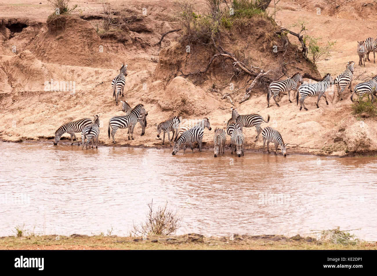 Zebra on the Great Animal migration in the  Maasai Mara National Reserve - Stock Image
