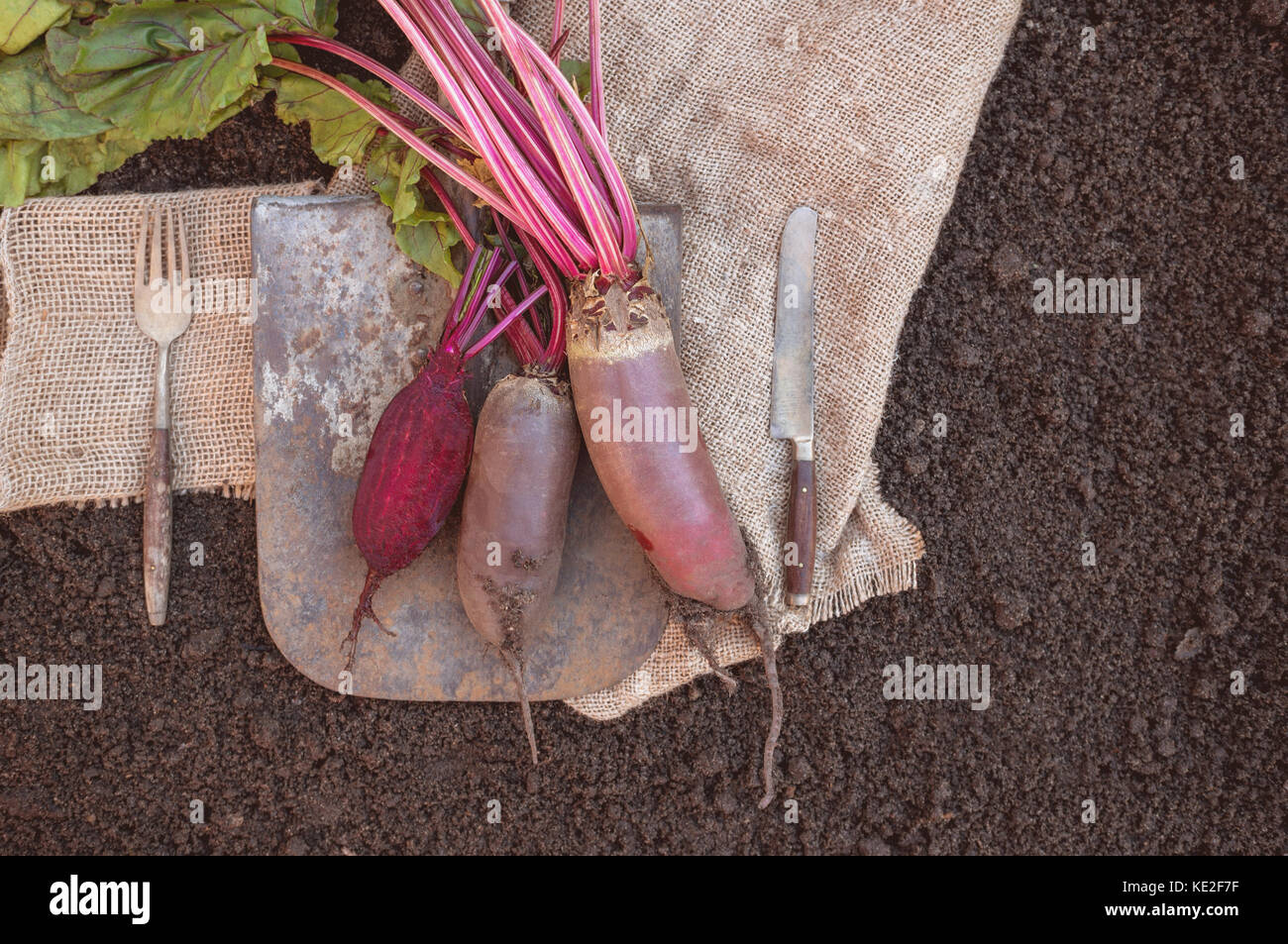 Organic root vegetables beet, lying on the spade and coarse cloth served the village. Autumn harvest. Copy the place. - Stock Image
