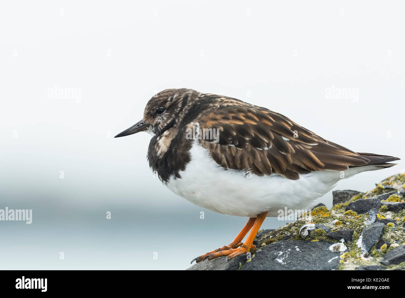 Ruddy turnstone wading bird, Arenaria interpres, foraging in between the rocks at the shore. These birds live in - Stock Image