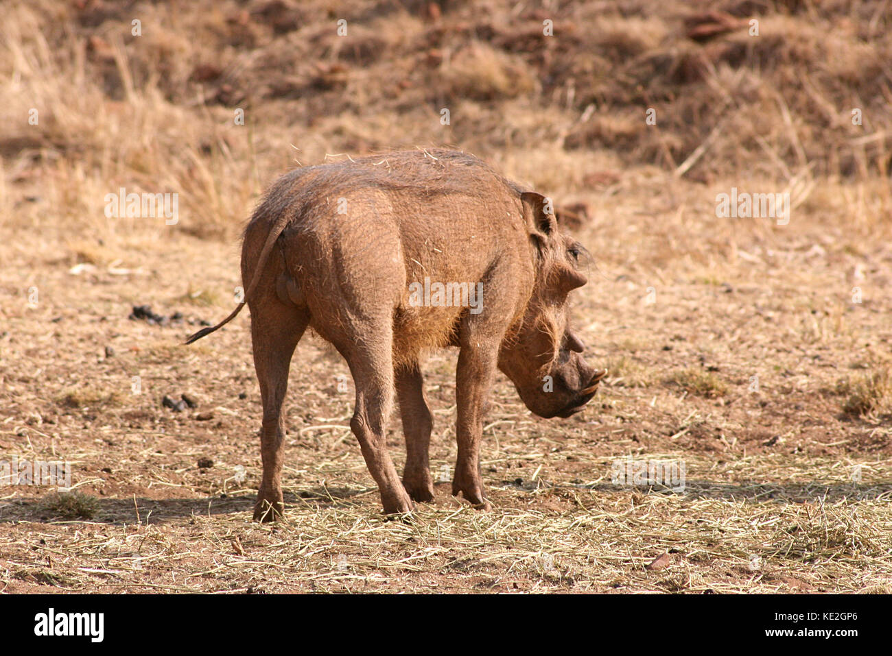 Warthog on a game reserve in Gauteng Province, South Africa - Stock Image