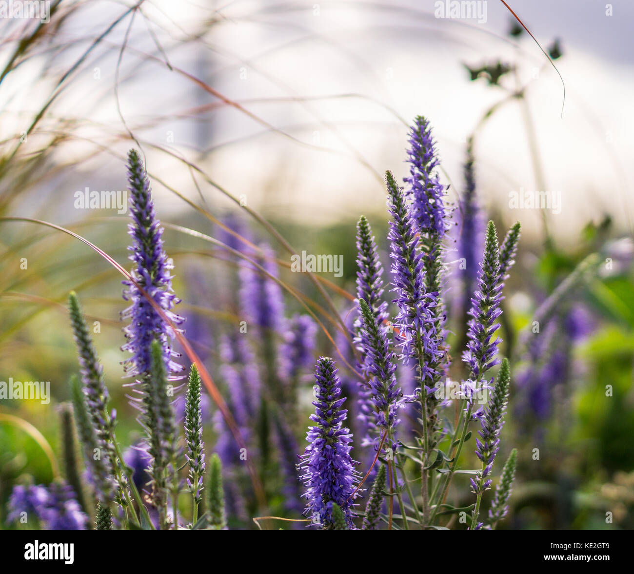 violet garden flower at summer. background, nature. - Stock Image
