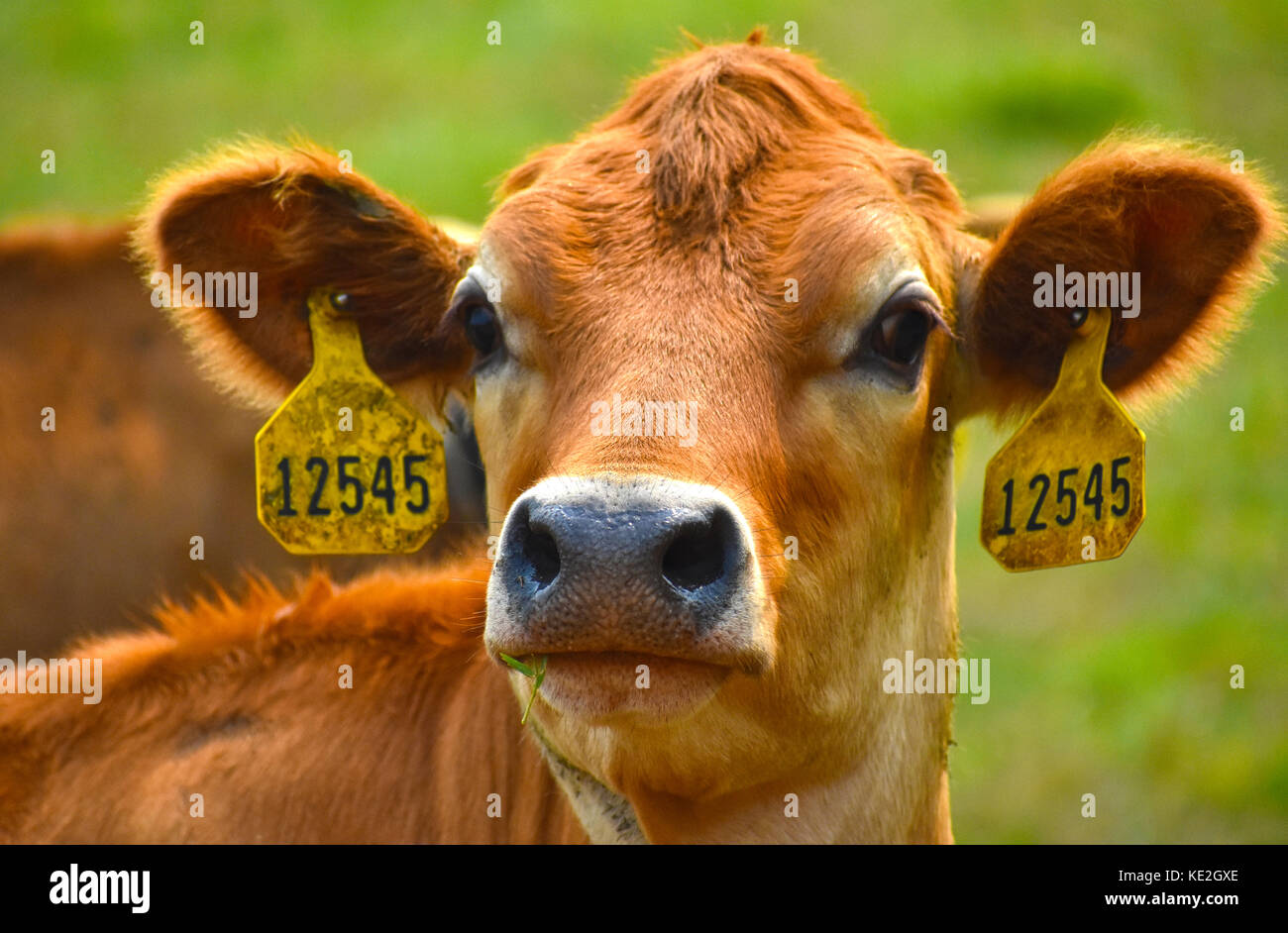 Cow headshot with identification tags in ears - Stock Image
