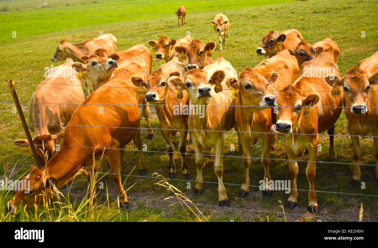 A herd of cows standing behind a barb wire fence.  One of the cows is grazing on some grass. - Stock Image