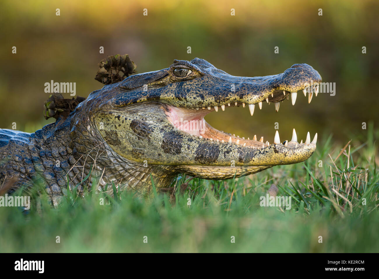 A Pantanal Caiman (Caiman yacare) - Stock Image