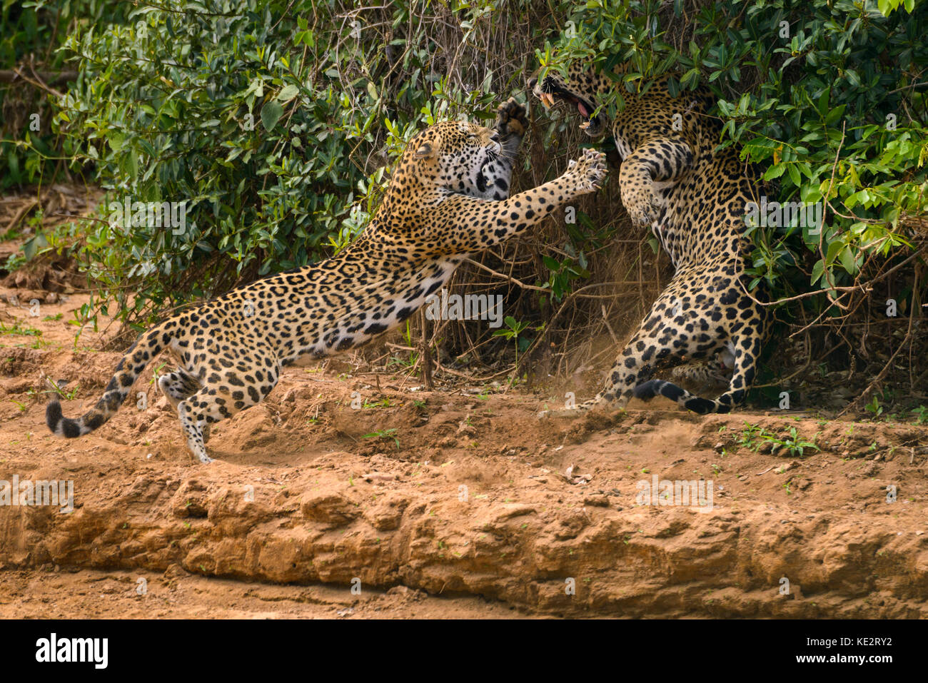 This is part of a sequence of a couple mating Jaguars fighting in the wild. North Pantanal, Brazil. - Stock Image