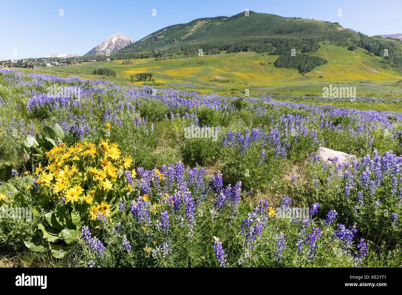 Aspen Sunflowers and Silvery Lupine (Lupinus argenteus) covers the foothills of the Rocky Mountains, Crested Butte, - Stock Image