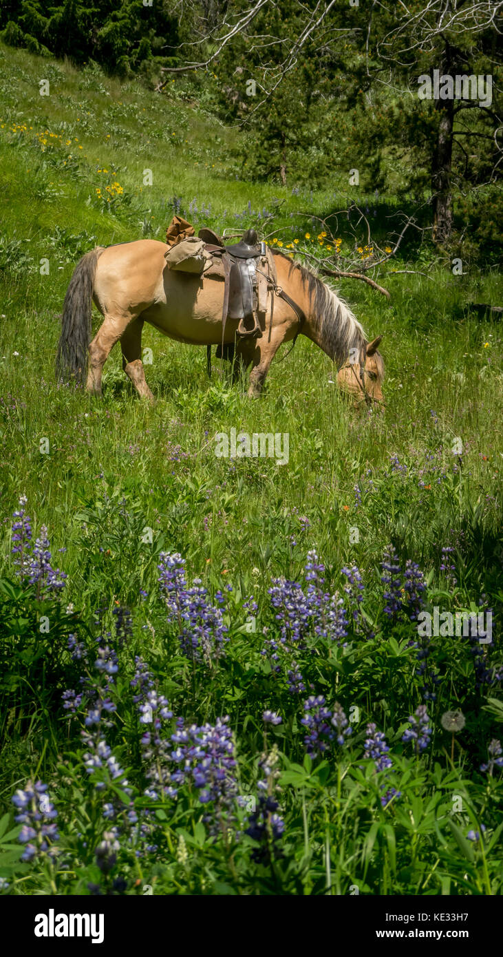 A norwegian/fjord interbreed horse grazing in an alpine meadow - South Chilcotin Mountain Park, BC, Canada - Stock Image