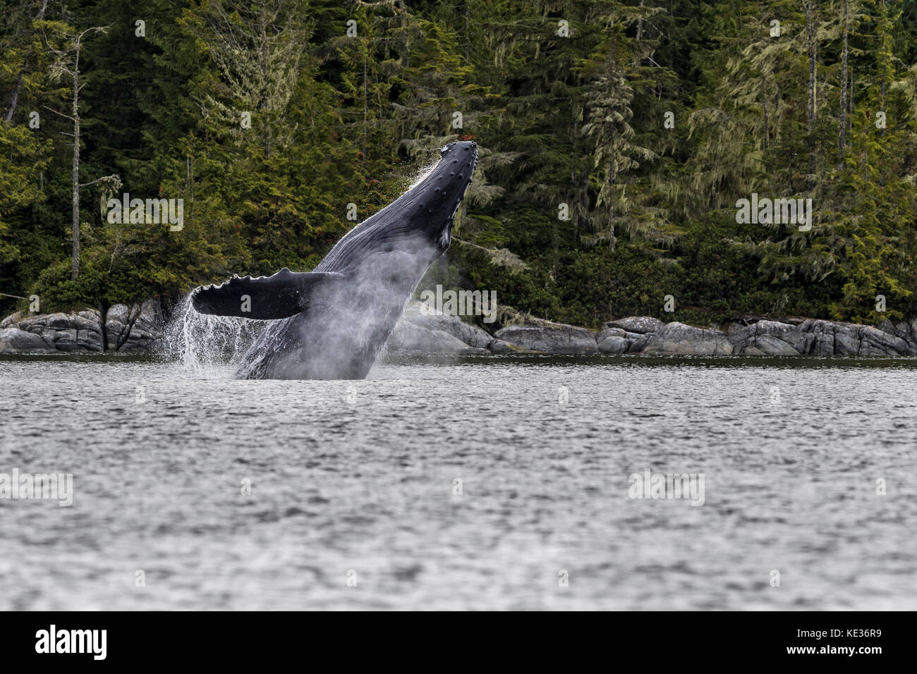 Humpback whale breaching off northern Vancouver Island, British Columbia, Canada. - Stock Image