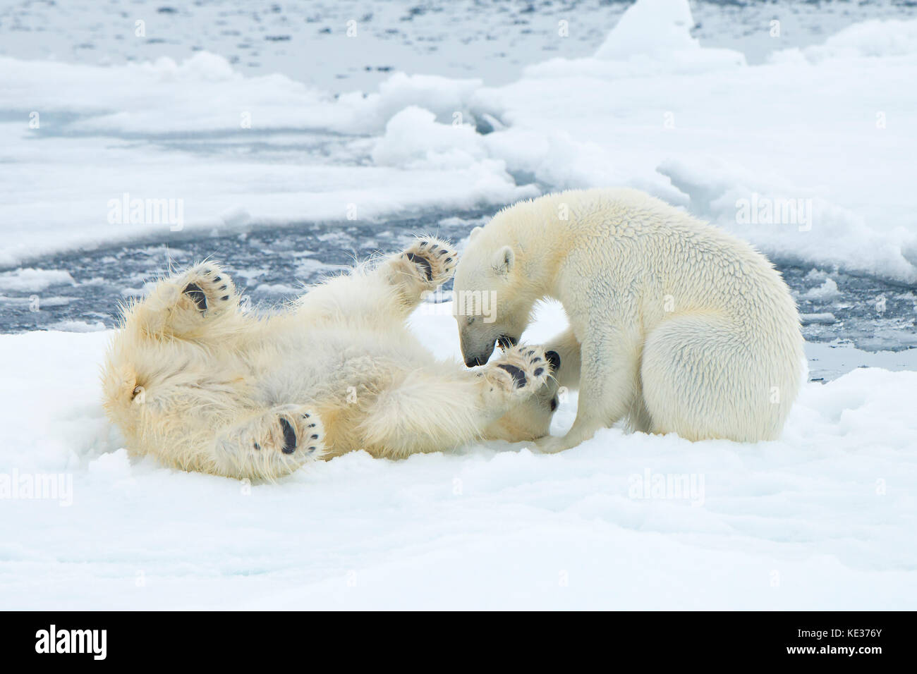 Adult female polar bears (Ursus maritimus) interacting on the sea ice, Svalbard Archipelago, Arctic Norway - Stock Image