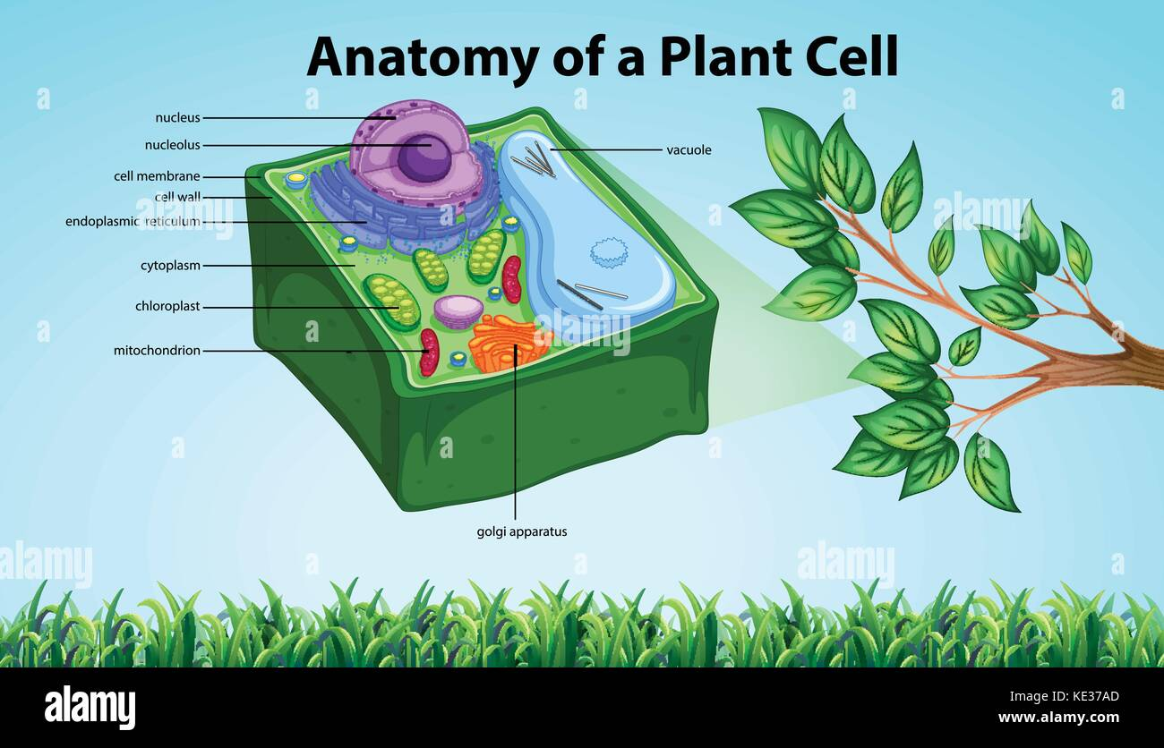 Anatomy of plant cell with names illustration Stock Vector Art ...