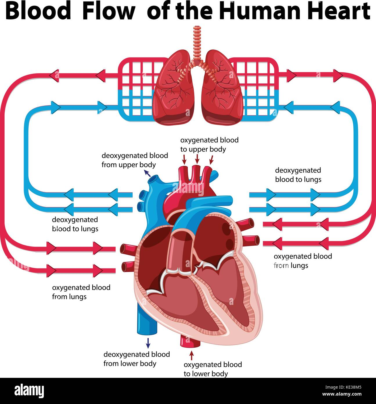 Chart Showing Blood Flow Of Human Heart Illustration Stock