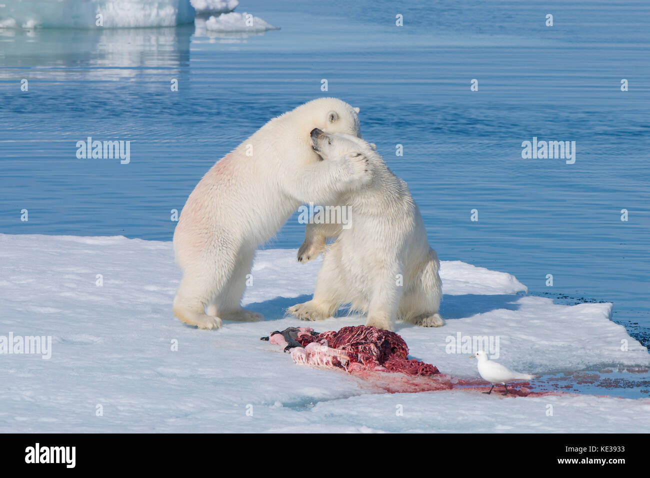 Two-year old polar bear cubs (Ursus Maritimus) playing beside a bearded seal carcass (Erignathus barbatus) with - Stock Image