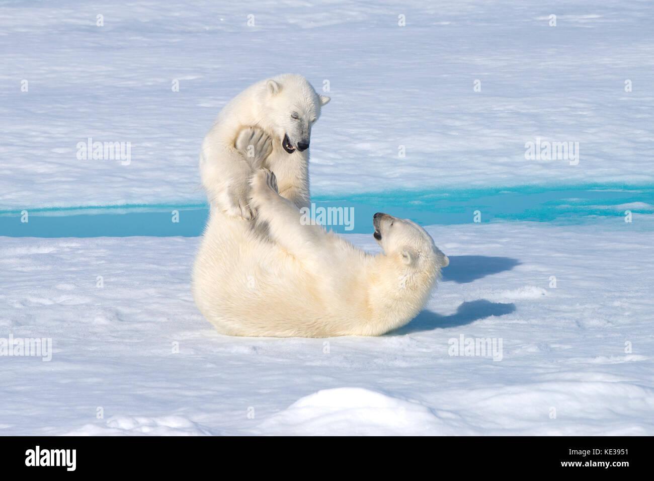 Two-year old polar bear cubs (Ursus Maritimus) playing, Svalbard Archipelago, Norwegian Arctic, - Stock Image