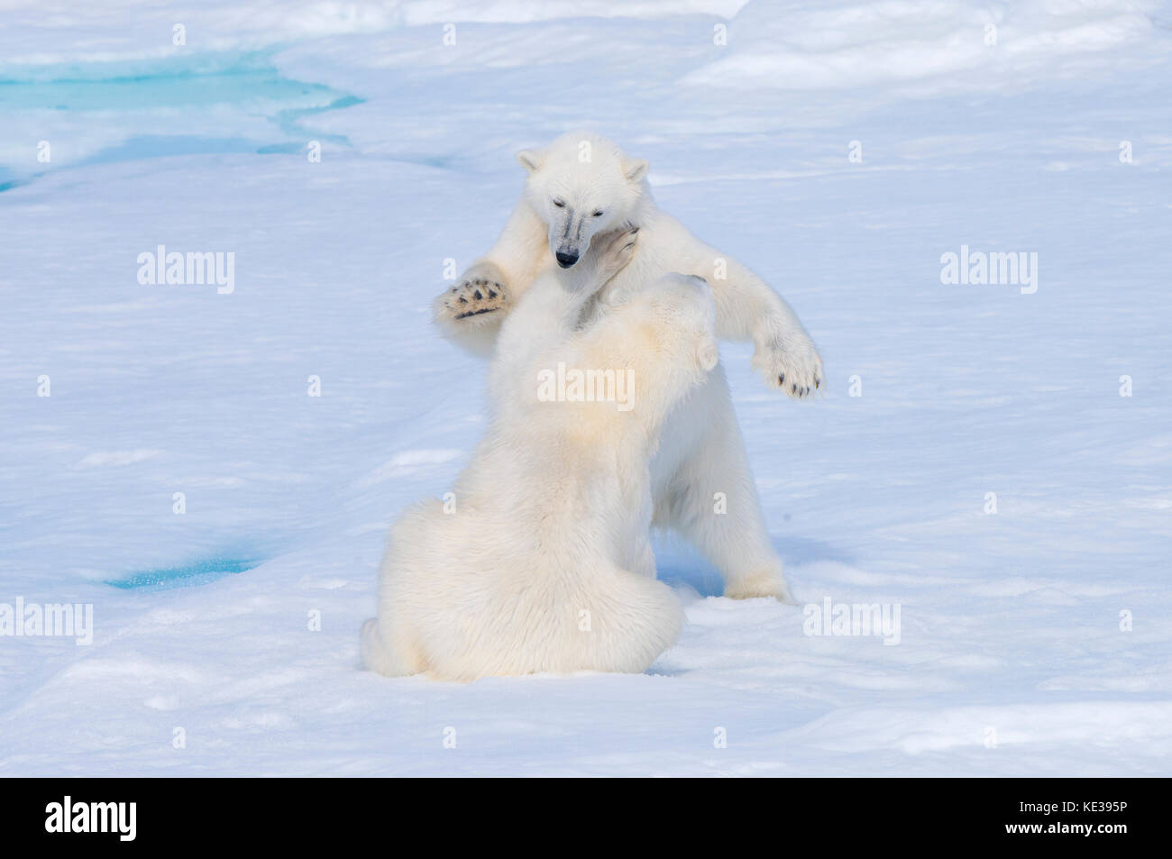 Two-year old polar bear cubs (Ursus Maritimus) playing, Svalbard Archipelago, Norwegian Arctic, - Stock Image