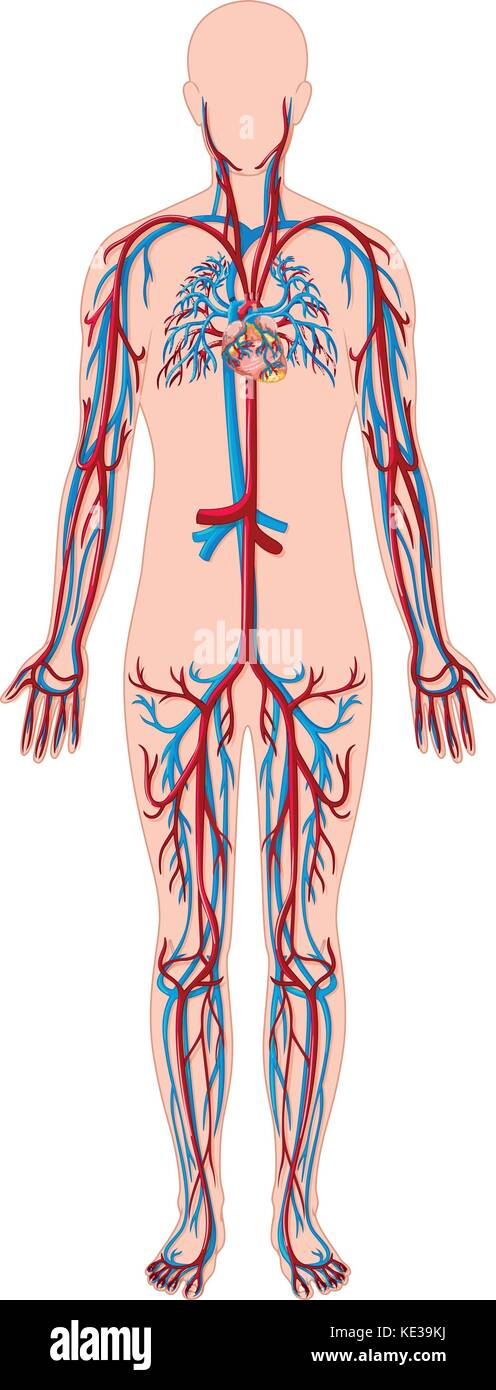 Blood Vessels Of The Body Stock Photos & Blood Vessels Of The Body ...