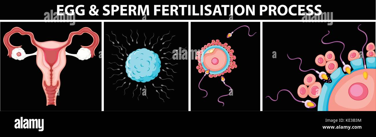 Path of sperm and egg — photo 12