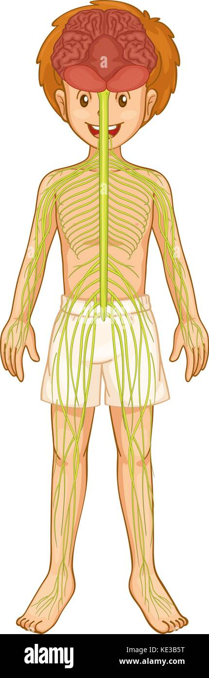 Nervous System Illustration Stock Photos & Nervous System ...