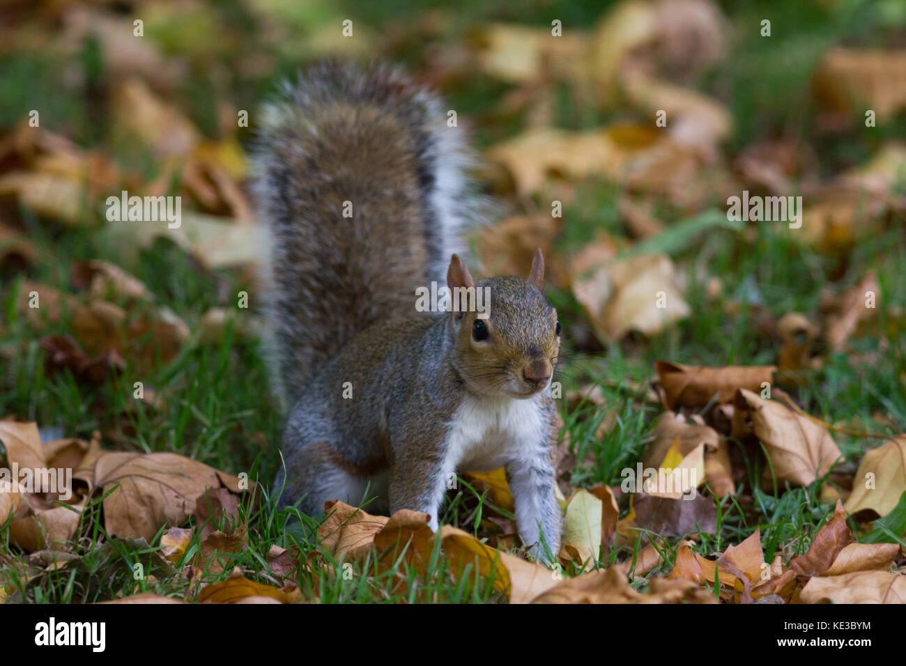 Grey squirrel in autumn park, telephoto - Stock Image
