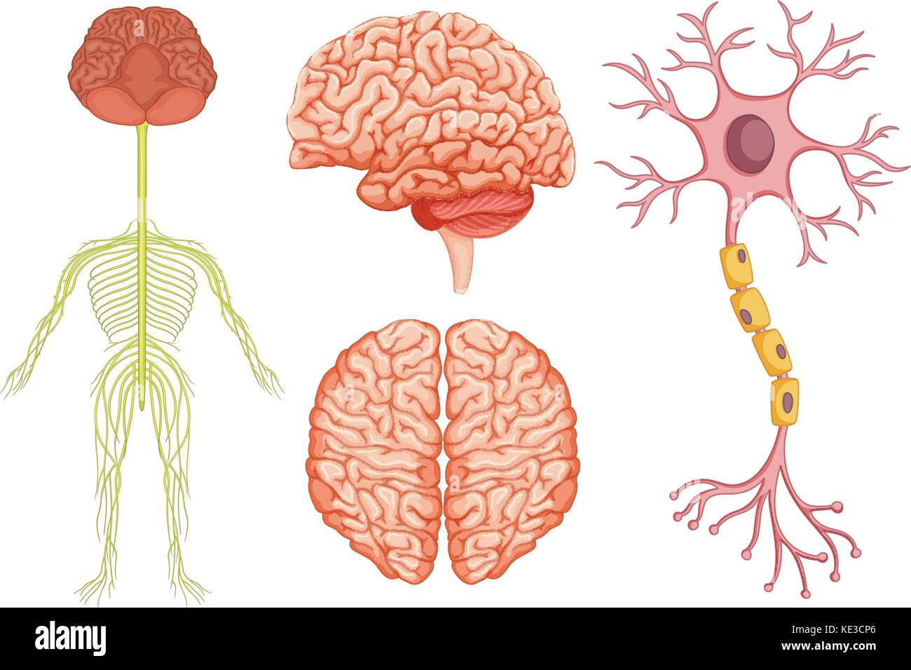 Human brain and stem cell illustration - Stock Image