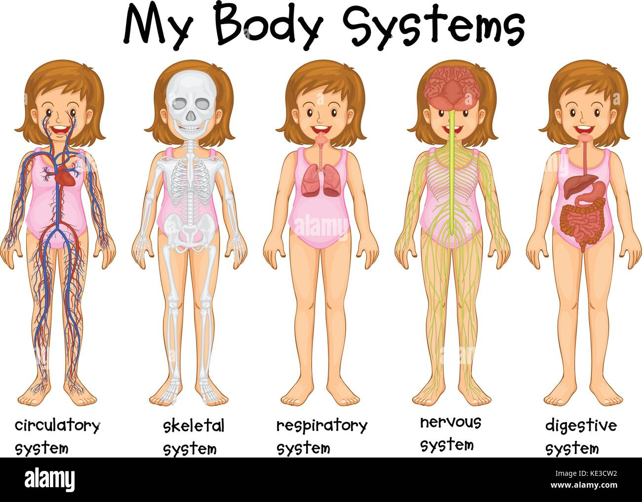 Different body systems in human illustration