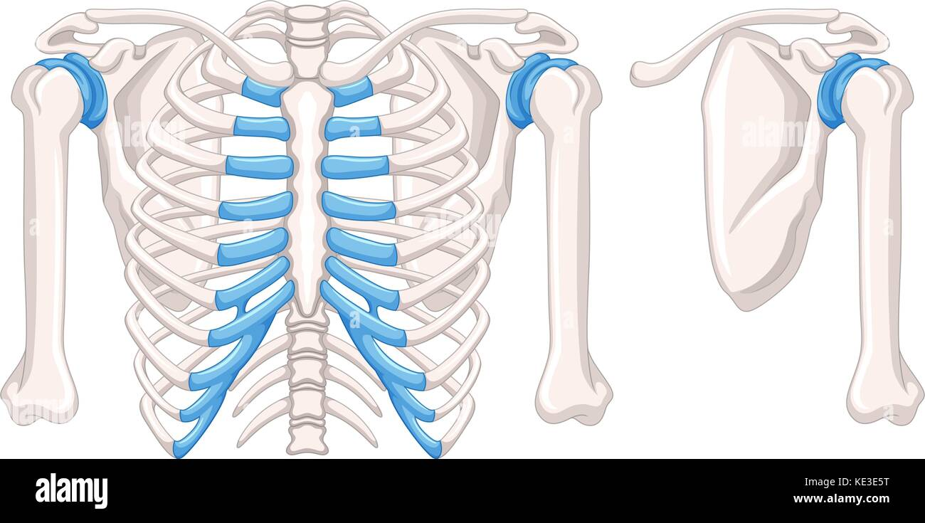 Diagram showing shoulder bones illustration Stock Vector Art ...