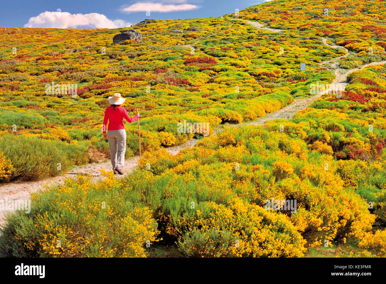 Woman with hat and red t-shirt walking in the middle of yellow flowering mountain vegetation and bushes - Stock Image