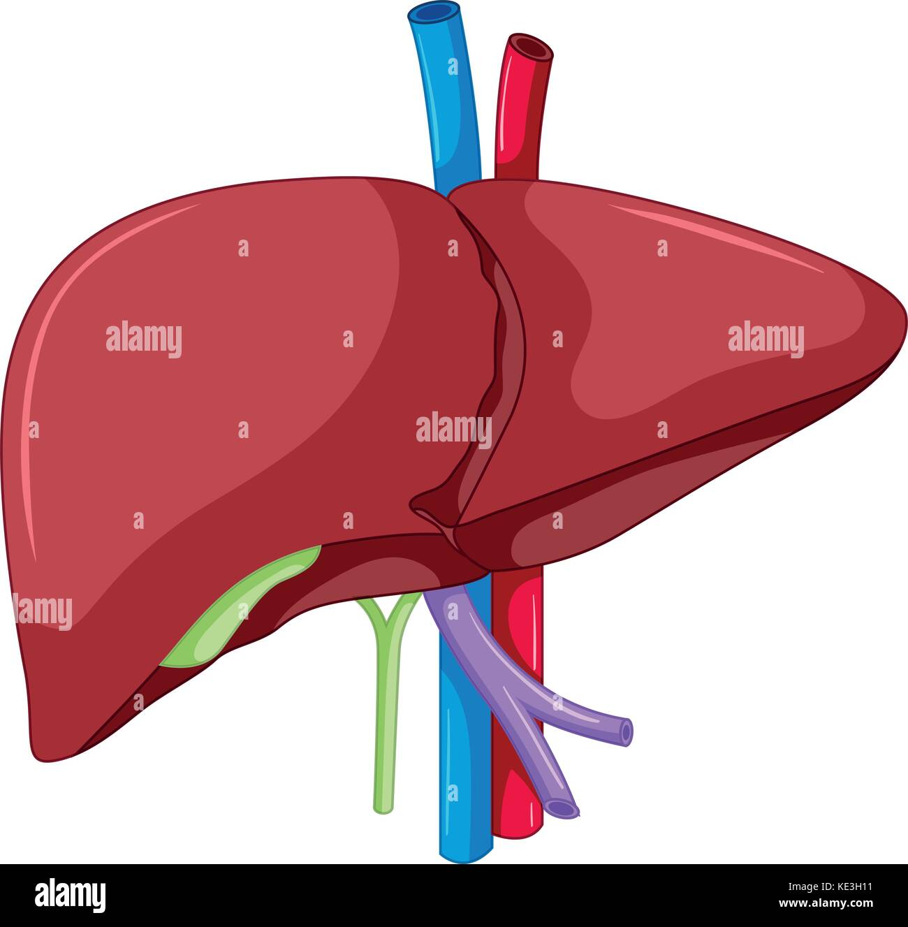 Liver anatomy of human body illustration Stock Vector Art ...