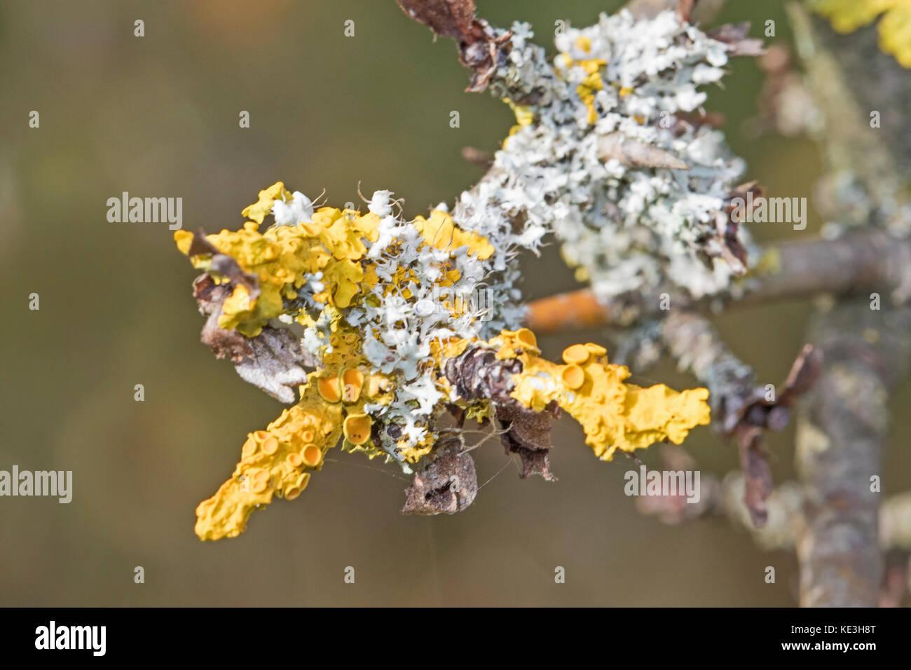 Common Orange Lichen on a twig - Stock Image