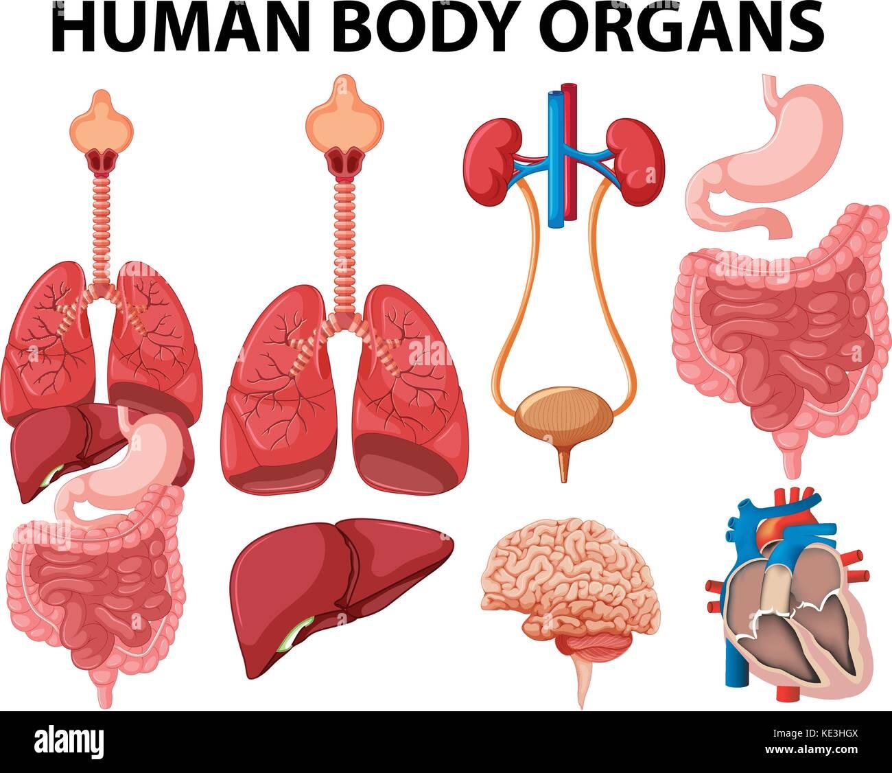 Different type of human body organs illustration Stock Vector Art ...