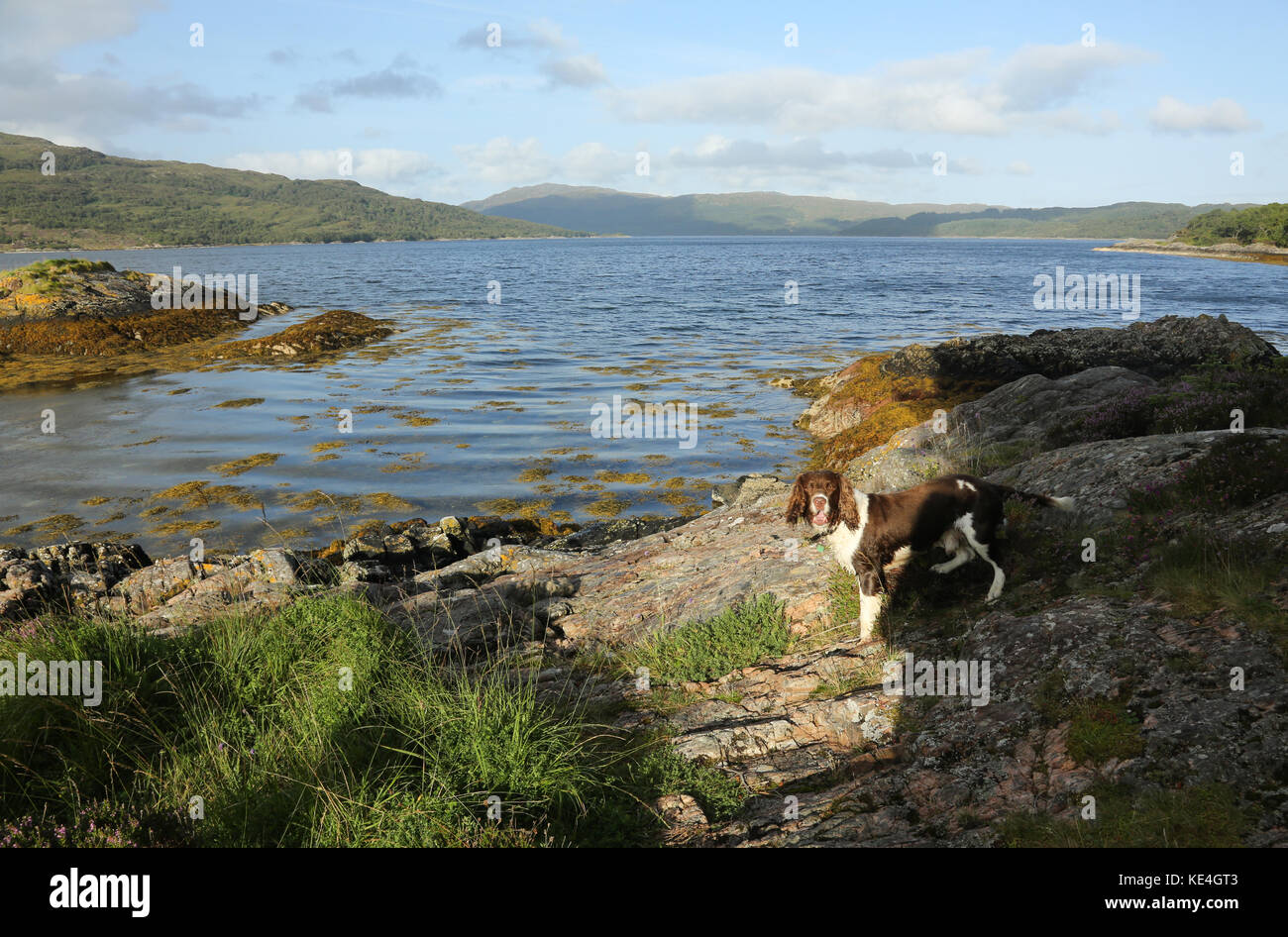 A cute English Springer Spaniel Dog (Canis lupus familiaris) standing at the edge of Loch Sunart in Scotland. - Stock Image