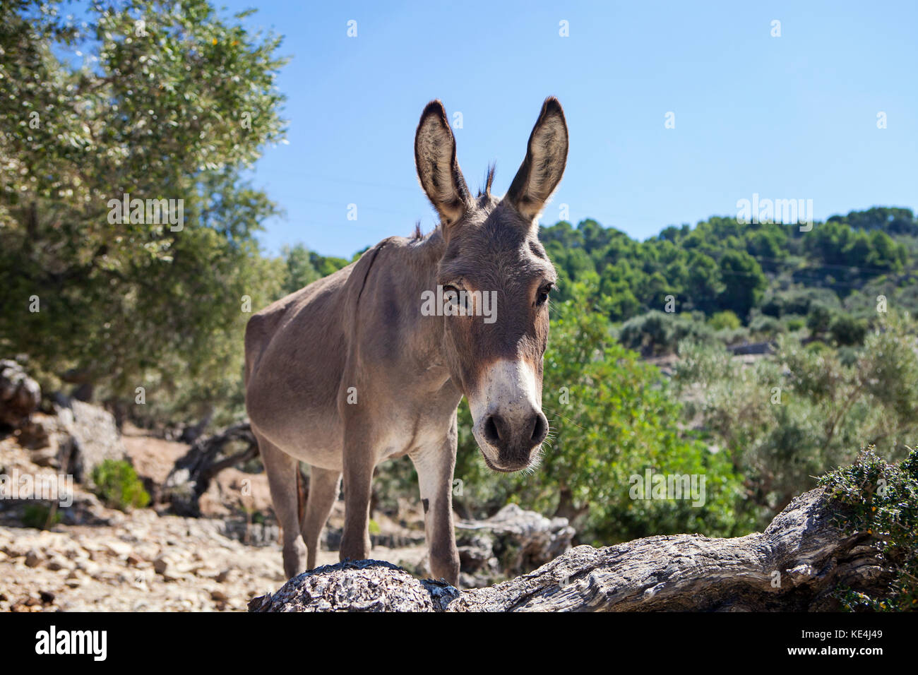 Donkey  in olive grove in Majorca, Spain - Stock Image