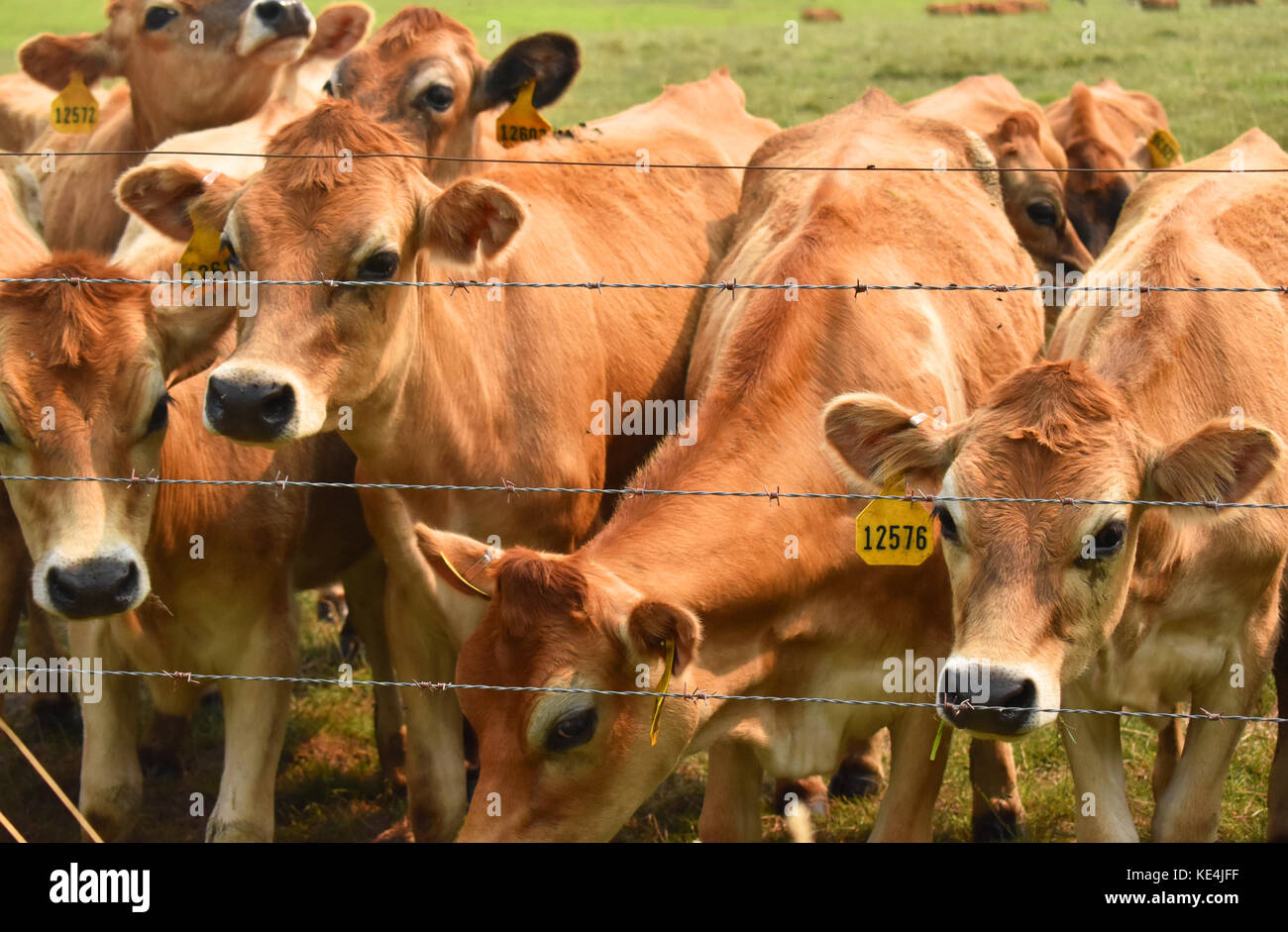 Cows at a barbed wired fence wearing identification tags - Stock Image