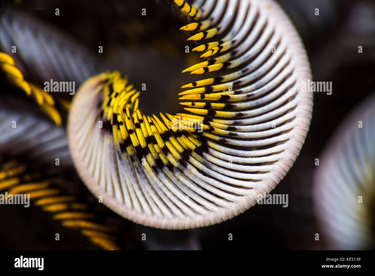 The curled arm of a crinoid, Anilao, Philippines. Stock Photo