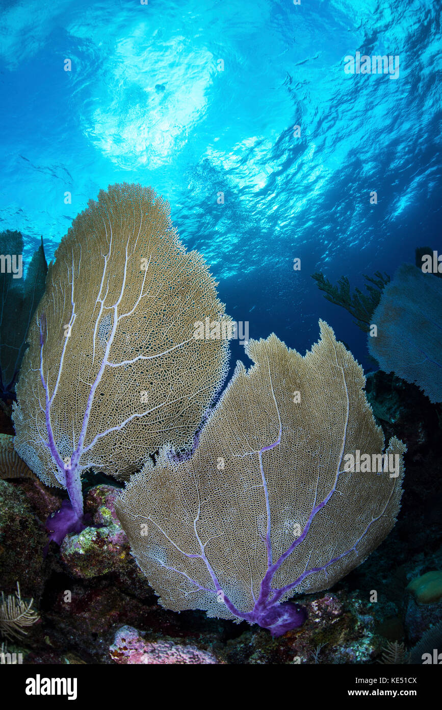 Sea fans on a coral reef in Grand Cayman, Cayman Islands. Stock Photo