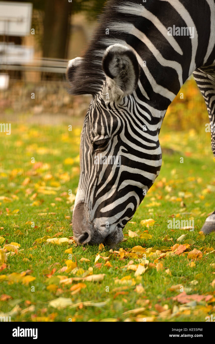 Grevy zebra (Equus grevyi), also known as imperial zebra. Autumn Portrait - Stock Image
