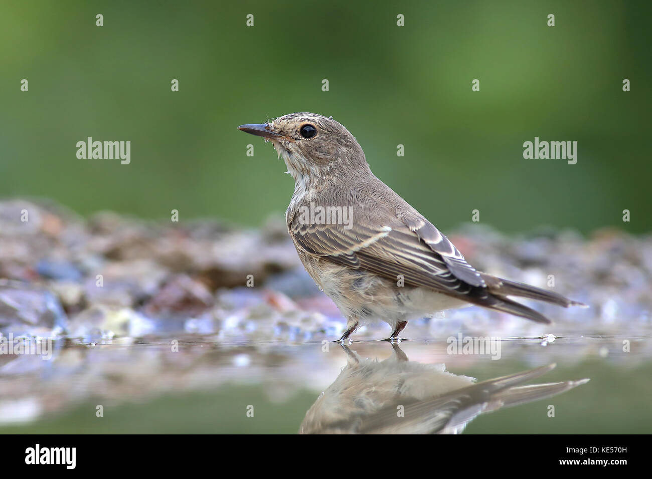 Spotted flycatcher (Muscicapa striata) stands in shallow water in a ...