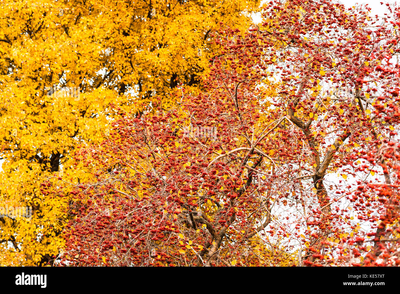 Hawthorn tree with clusters of red berries against the background of a tall crab apple tree with yellow foliage - Stock Image