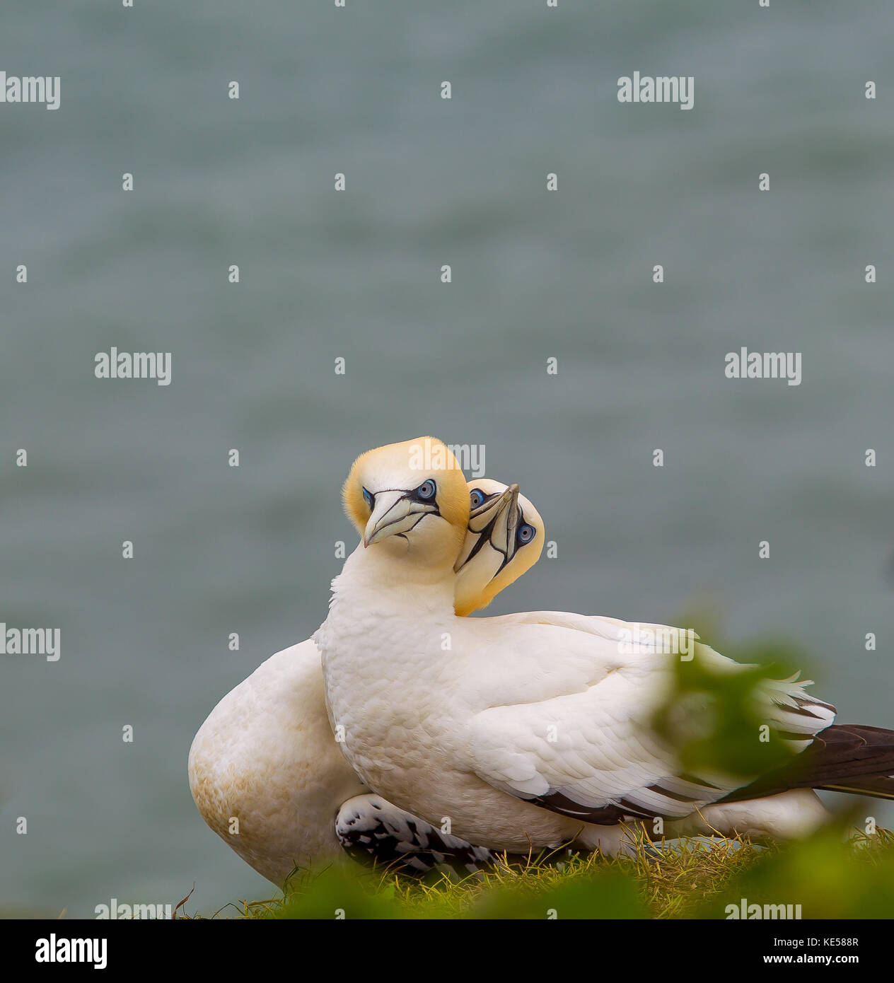 Detailed close up, nesting pair of gannets (Moranus bassanus) on cliff edge, necks entwined, RSPB Bempton Cliffs, - Stock Image