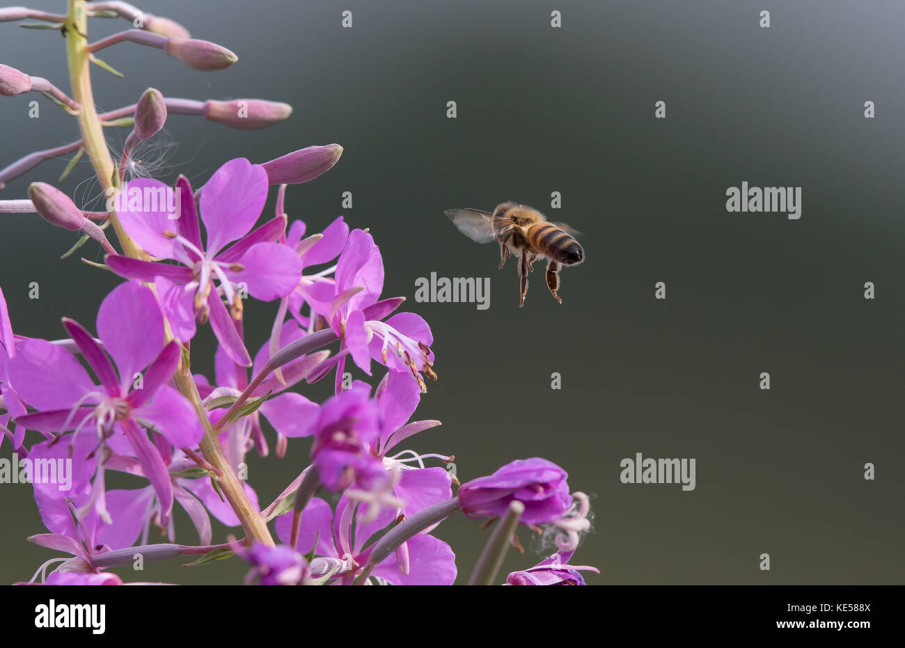 Detailed close up (macro photography) of solitary honeybee hovering near flowering pink rosebay willowherb plant, - Stock Image