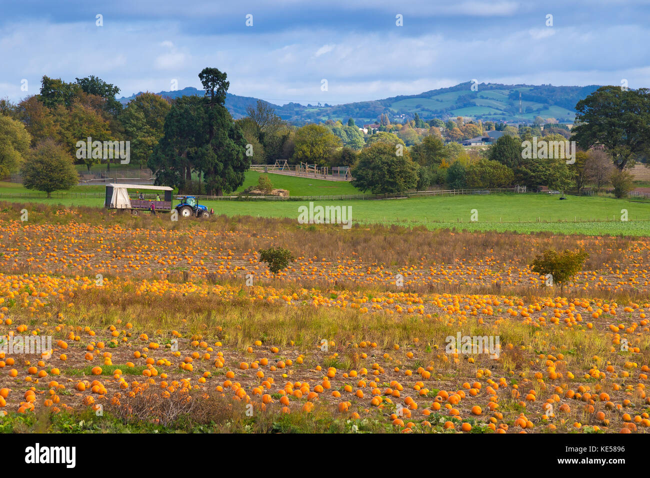 Landscape scene showing pumpkins being harvested in Worcestershire fields, ready for Halloween. Farmers make the - Stock Image