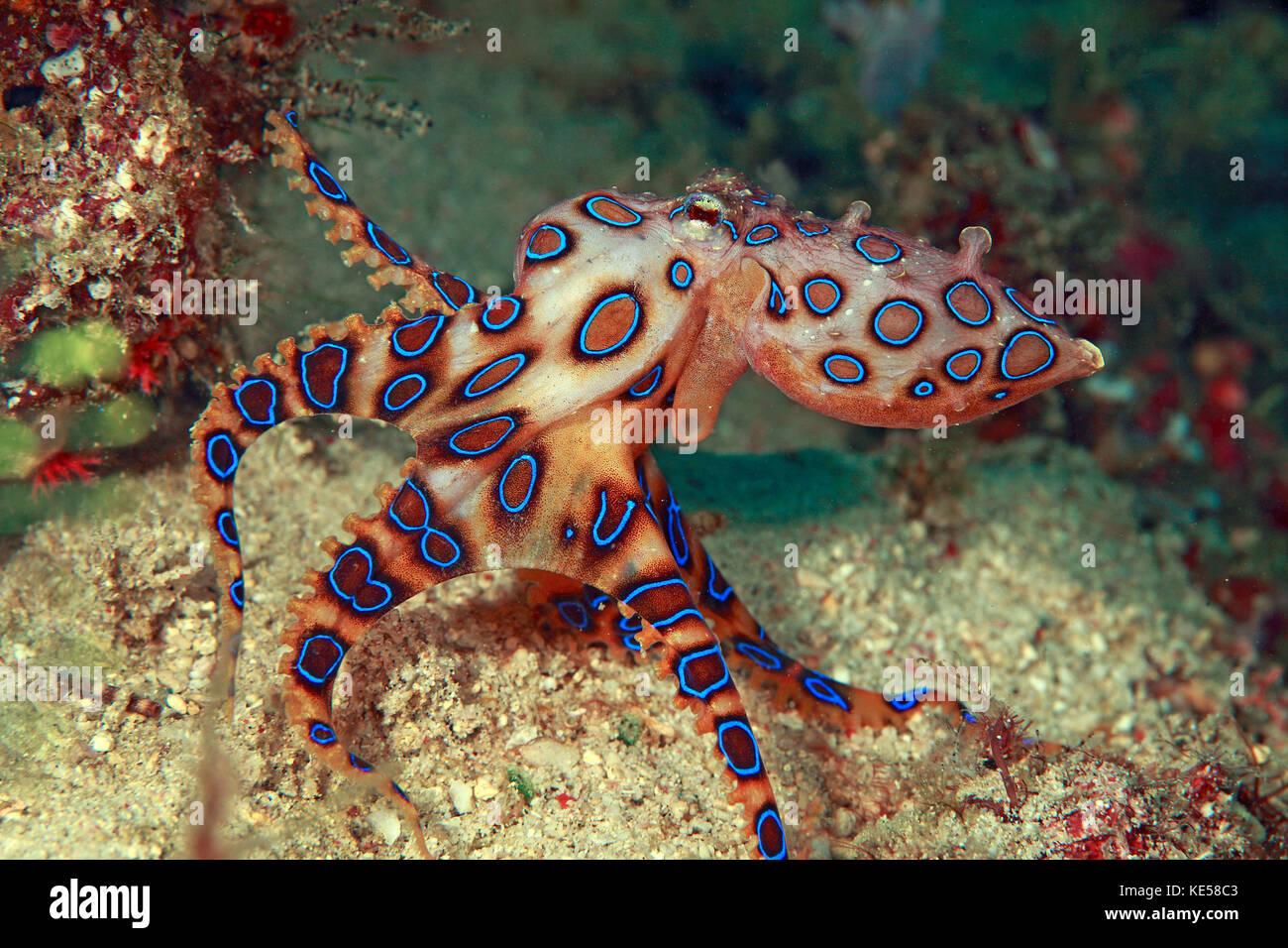 Blue Ringed Octopus Pet