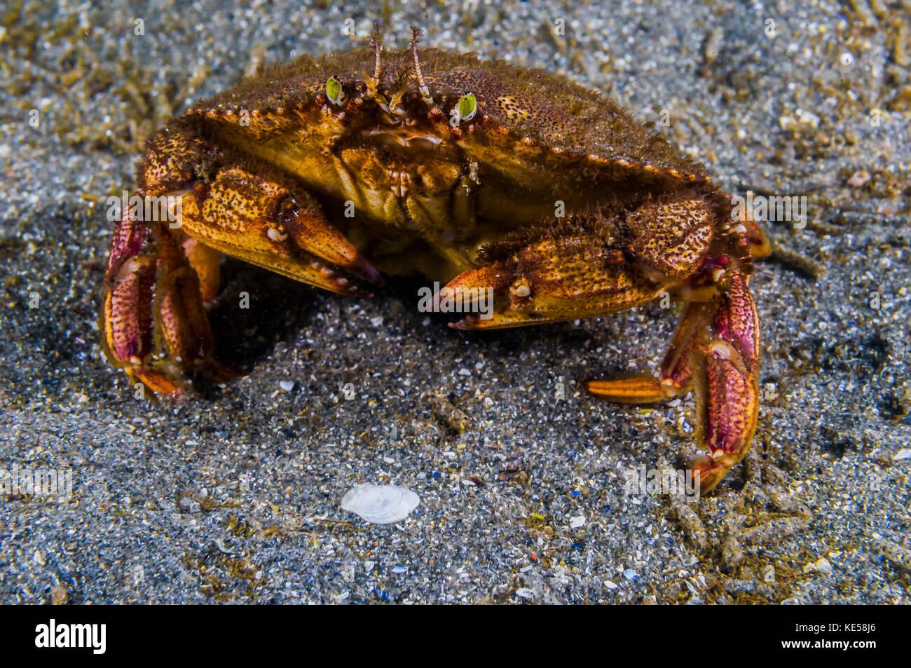Atlantic rock crab, Maine. Stock Photo