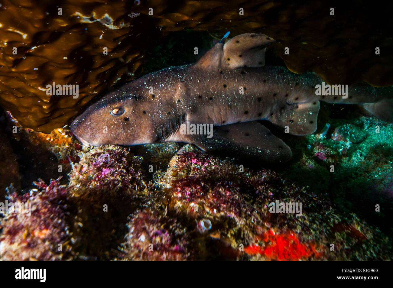 Docile horn shark in the kelp gardens in Catalina Islands. - Stock Image