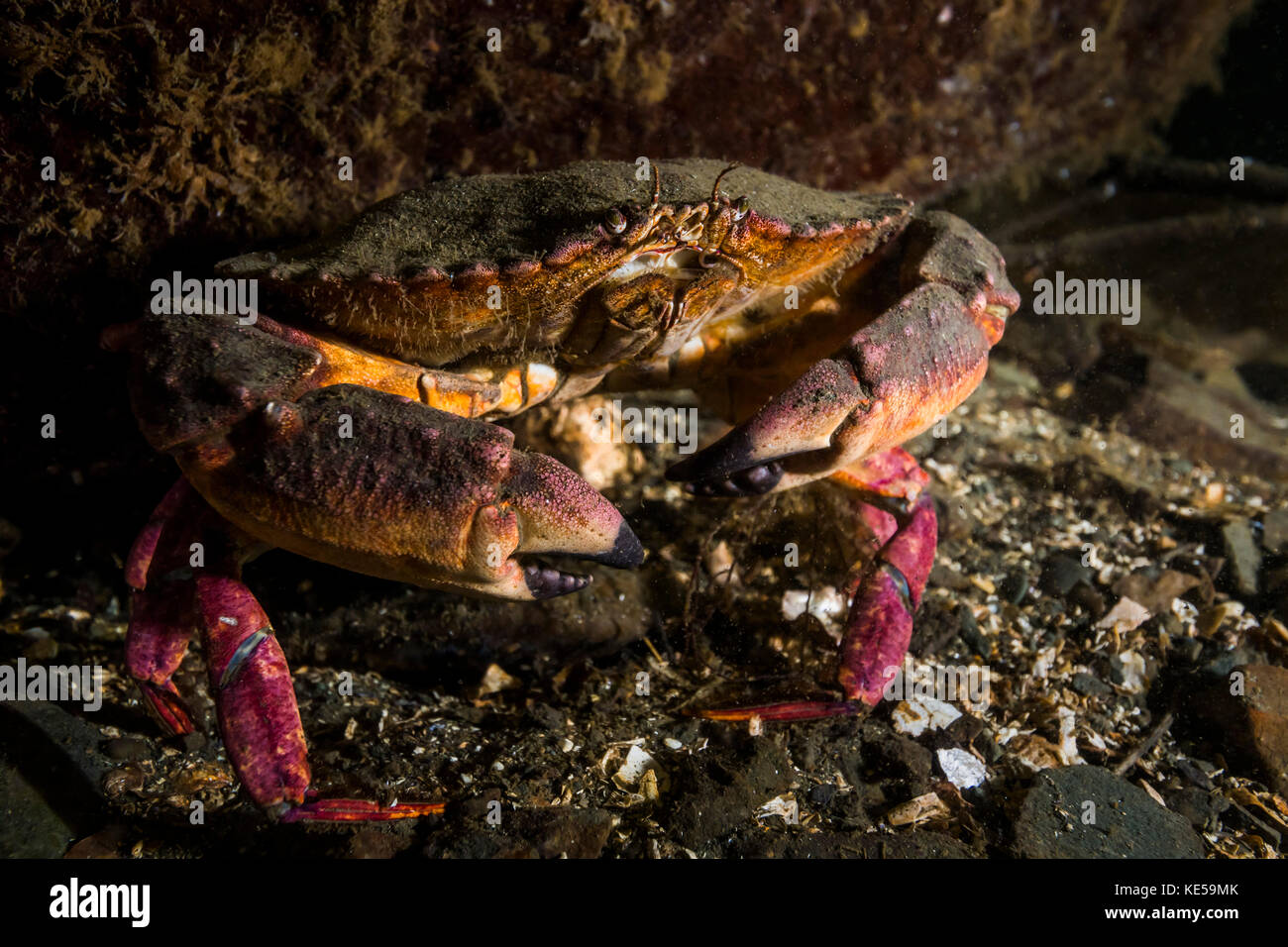 Rock crab in the Hood Canal, Puget Sound, Washington. Stock Photo